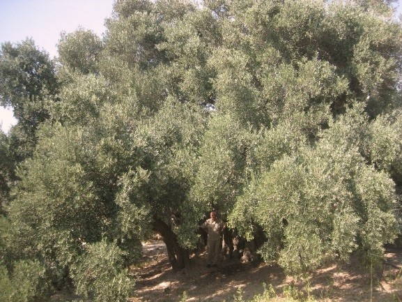 INTRODUCING OLIVE CULTURE IN PALESTINE
